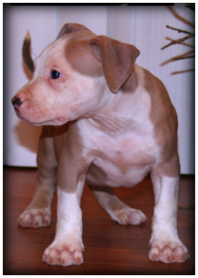 Ceasar and Storm male puppy A