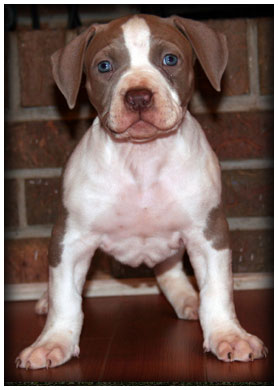 Female A bully pit bull puppy and puppies for sale in Pensacola Florida