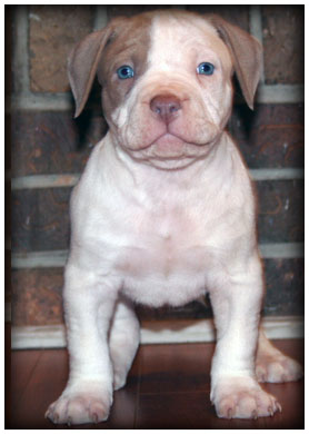 Male A bully pit bull puppy and puppies for sale in Pensacola Florida